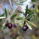How to Cure Fresh Olives at Home